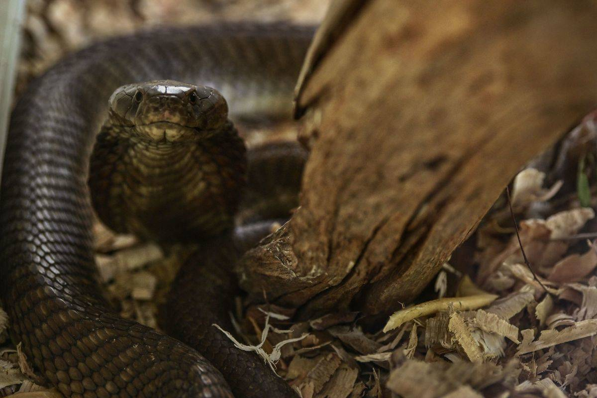 A brown spitting cobra rears up using its menacing hood to adopt a defensive posture.