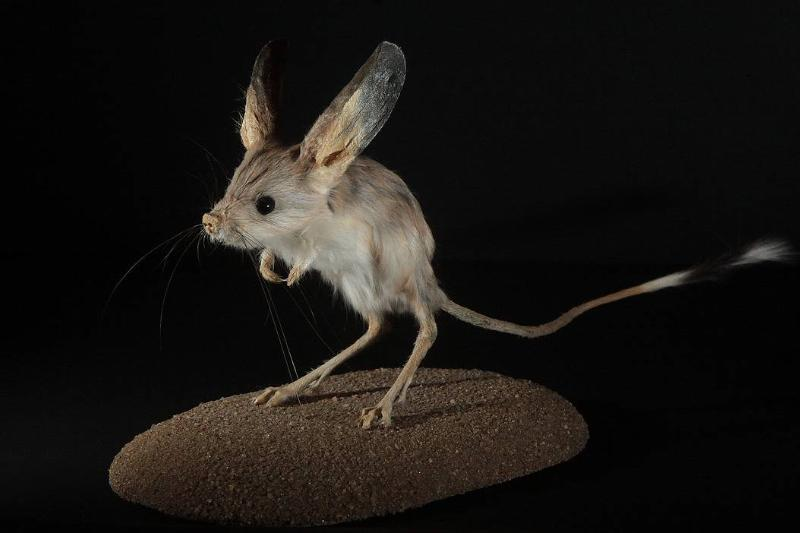 A long-eared jerboa is pictured in front of a black background.
