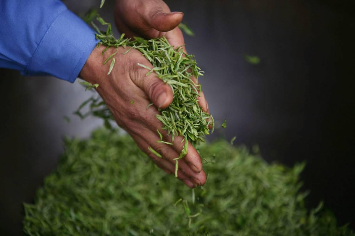 A tea farmer holds loose leaf tea.