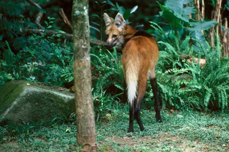 A maned wolf looks over its shoulder at the camera.
