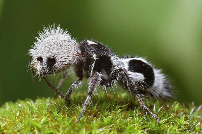 A panda ant is pictured on moss.