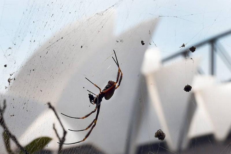 Spider Sydney