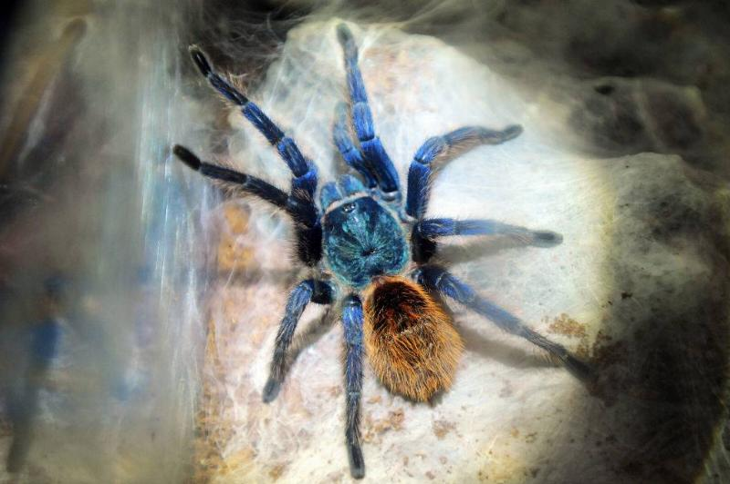 Tarantula Chromatopelma Cyaneopubescens