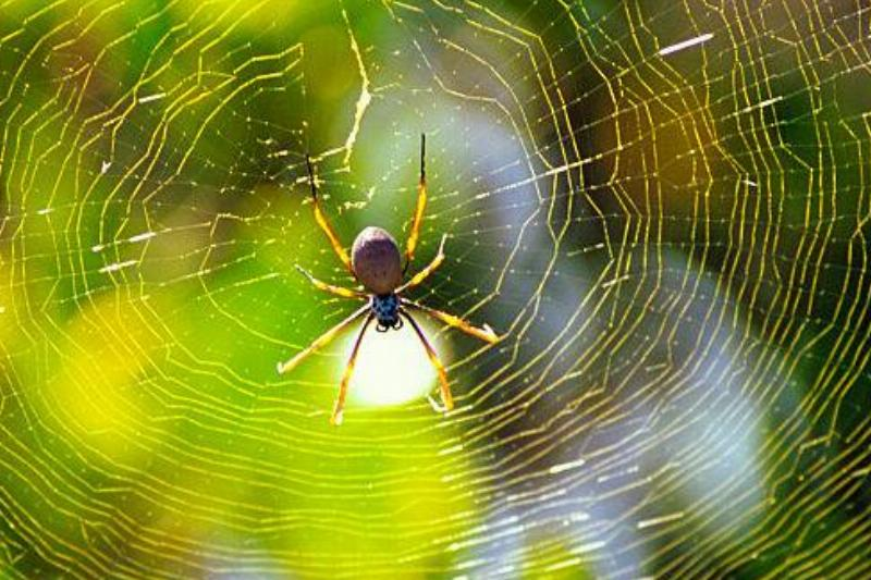 Golden orb-weaver spider, Nephila sp., sunlit web