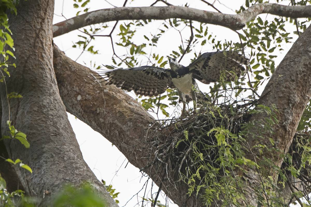 They Build Their Nest In One Of The Tallest Trees