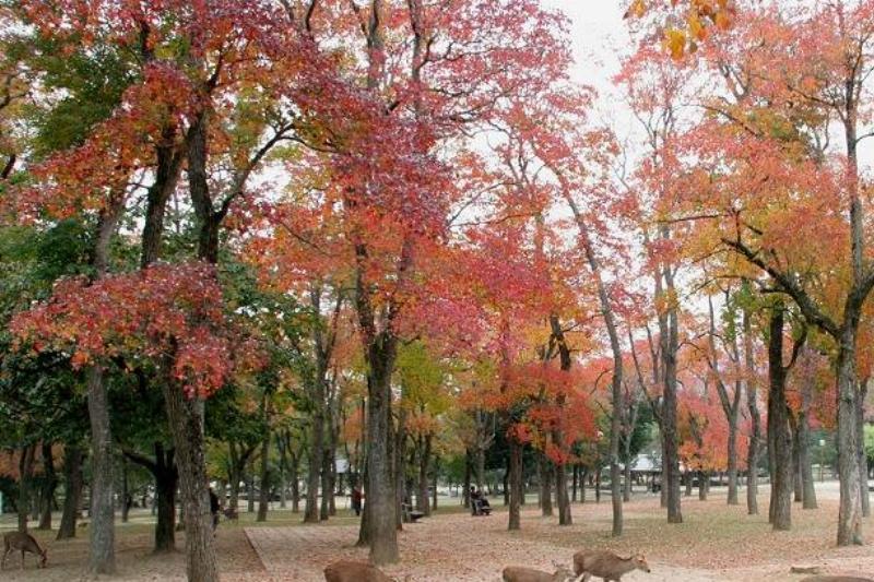 tallow-tree