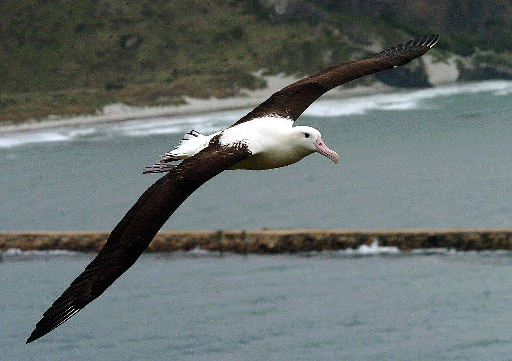 Picture of an albatross