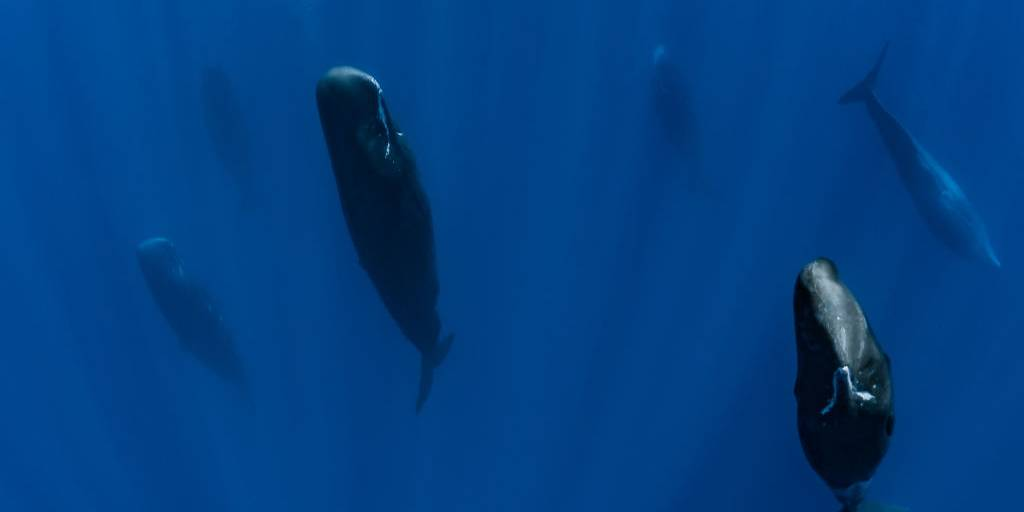 Picture of sperm whale