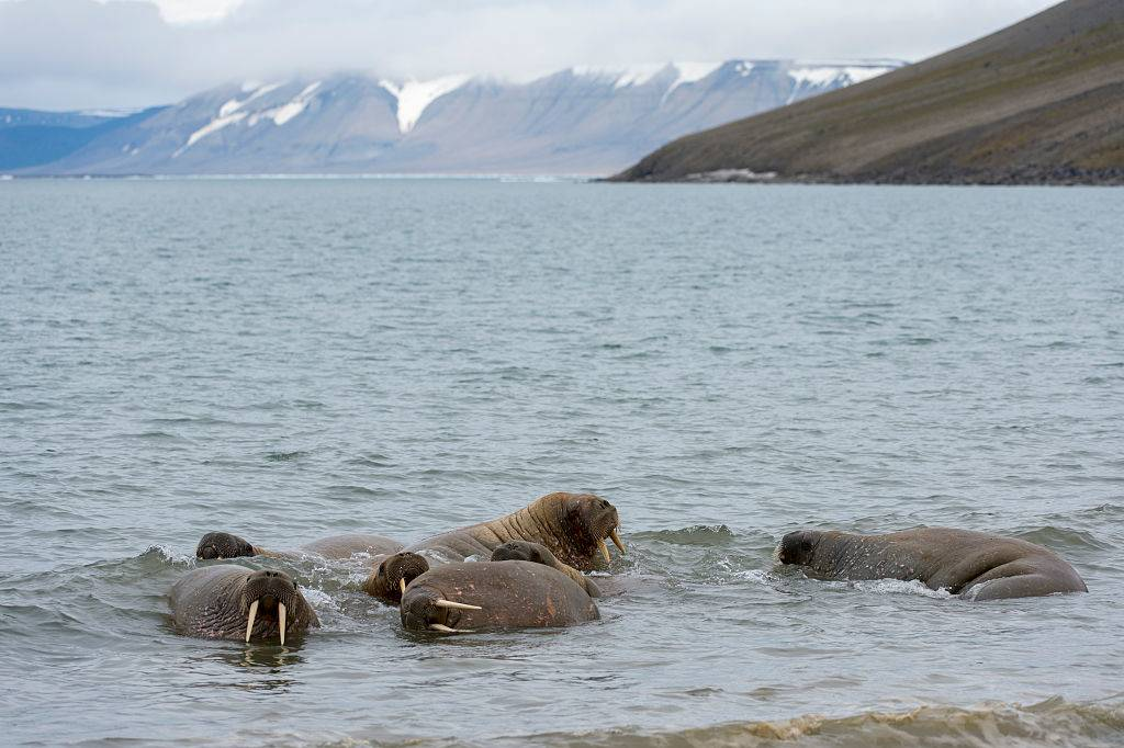 Picture of walruses