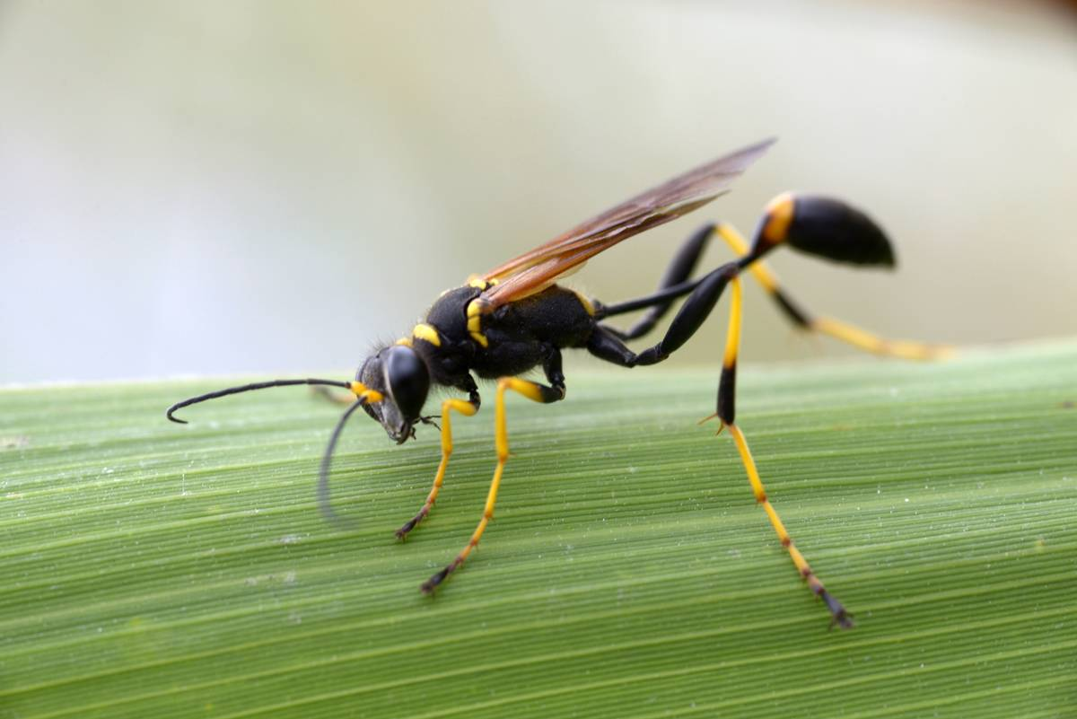A black and yellow mud dauber is pictured on a leaf.
